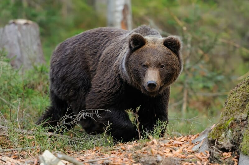 Bear sense of smell