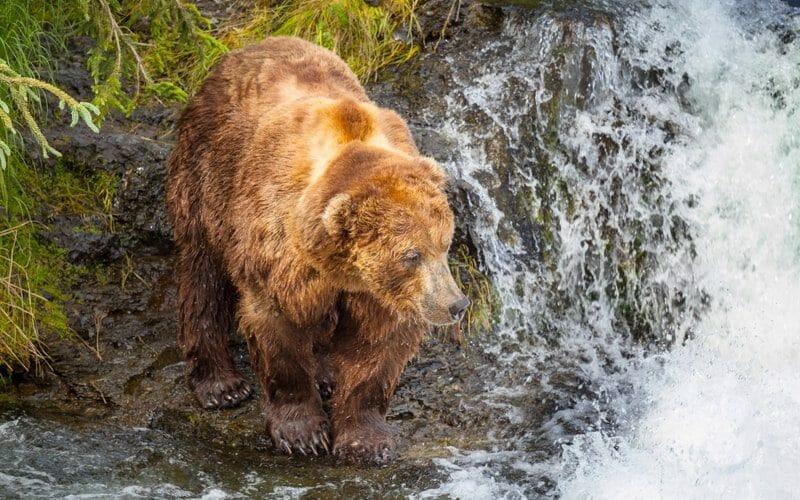 How far can bears smell?